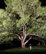 Tanglewood's new Linde Center for Music and Learning is fronted by a majestic 100-year-old red oak tree.